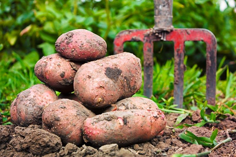 Freshly Harvest Potatoes
